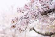 The cherry blossom or Sakura in spring season.